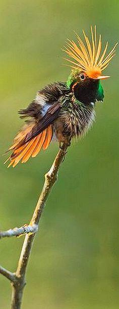 HUMMINGBIRD - Rufous-crested Coquette (Lophornis delattrei) -- Cerro Azul, Panama. photo by Steve Hamilton Images