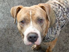 TO BE DESTROYED 12/13/13 Manhattan Center-P ZUKO #A0986215 Male br brindle pit mix 1YR 7MTHS STRAY 11/30/13 Zuko is so eager to be loved! He greets other dogs (large & small) w/ a soft body & wagging tail. Walks in street excitedly, but very well, responding readily to commands. His heart is as big as his belly & though he arrived as a stray, this well-trained, sociable guy is 100 percent pure pet. Go ahead & give yourself the best gift of them all, bring Zuko home for the holidays!