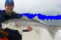 """Corey catches one more beautiful stripped bass that measured at 42""""! He wanted to keep his location a secret, so he did some colouring in the background! Great catch Corey!"""