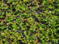 Black crowberry (Empetrum hermaphroditum)