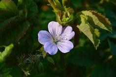 Vaalea metsäkurjenpolvi #kaunis   Vesan viherpiperryskuvat – puutarha kukkii
