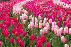 depositphotos_9856778-stock-photo-field-of-tulips.jpg (1024×680)