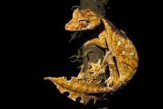 This is the 'satanic leaf tailed gecko'.  lol