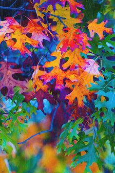 Autumnal Oak Leaves - great addition to my Rainbow Board. Colors Of The World, All The Colors, Bright Colors, Happy Colors, Over The Rainbow, Pics Art, Autumn Leaves, Oak Leaves, Beautiful World