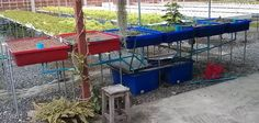 Updates on the fruits of my labor ... in my Test Aquaponics System