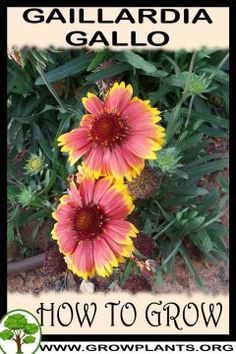 Gaillardia Gallo - All gardening information grow and care, amount of water, sun exposure, planting season, blooming season, hardiness zone, height of the plants, pruning season, pests and diseases, growth speed, uses of the plant, flowers color , if it's grow as houseplant, tips and much more #gardening, #flowers, #plants