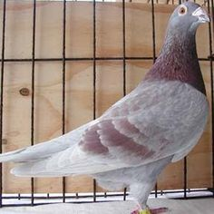 Janssen Buitta Pigeon Racing Pigeon Lofts, Homing Pigeons, Black Diamond, Pet Birds, Animals And Pets, Trucks, Board, Photos, Animaux