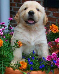 Golden pup