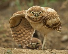 Go On, Come Closer - A young burrowing owl stretches it's wing.    Please note…