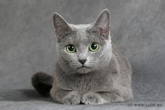 russian blue cat - Google Search
