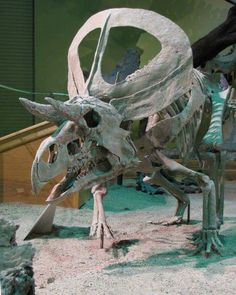 Esqueleto de Zuniceratops christopheri en el Wyoming Dinosaur Museum, EEUU