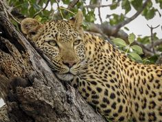 Kruger National Park, All Inclusive Resorts, Stay The Night, Leopards, Nature Reserve, Safari, Beautiful Places, Wildlife, African