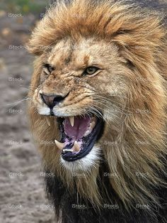 Image just sold @istock: #Lion #Male #King #Angry #Wildlife #Animal https://secure.istockphoto.com/photo/lion-panthera-leo-gm526196253-52619180