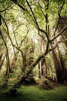 Redwood Forest, Muir Woods, California