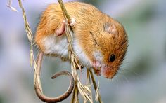 Environment secretary credits innovative farming methods for apparent   resurgence in harvest mice in Hampshire