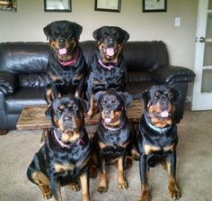 5 attack-trained Rottweilers with a history of attacking dogs maul a home healthcare worker, 56yo Lynne Denning , biting her in the face, chest, arms and legs. Her client lived with 29yo Jenna Allen, owner of UKC Hugelhaus Rottweilers. The Rotts previously attacked neighbor Vincent Longo and his husky, Marty, and another Allen dog, a Lab.  Allen owns 8 Rottweilers, and is planning a litter for spring. (Dec 2014, CT) http://wtnh.com/2014/12/03/woman-in-critical-condition-after-dog-attack/
