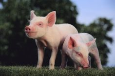 Pigs are much loved by children of all ages. Somehow most of us are drawn to these amazing creatures, often without quite knowing why.    This lens...