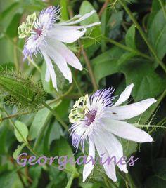 Passiflora foetida Starter Plant - Click Image to Close