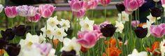 Ikke alle tulipaner kommer igjen år etter år. Det handler om å velge pålitelige sorter. Her får du 11 sikre tulipanvalg.
