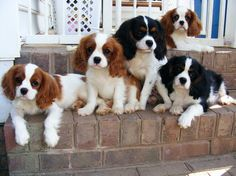 King Charles Spaniel puppies.