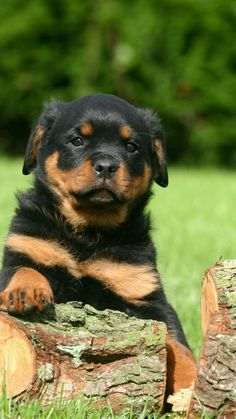 Animal/Rottweiler Wallpaper ID: 268782 - Mobile Abyss Baby Puppies, Cute Puppies, Dogs And Puppies, Rottweiler Love, Rottweiler Puppies, Puppy Images, Puppy Pictures, Funny Animals, Cute Animals
