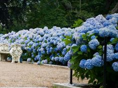 If you ever wished for a dreamy hydrangea garden, you'll love these simple tips for growing healthy, beautiful hydrangeas. From planting to pruning, watering, and fertilizing, you'll have everything you need. #hydrangeas #lanscaping #hydrangeaflowers #pinkhydrangeas #bluehydrangeas #purplrhydrangeas #romanticflowers Hydrangea Shade, Hydrangea Bush, Hydrangea Garden, Hydrangea Not Blooming, Hydrangea Flower, Large Plant Pots, Large Plants, Beautiful Flowers Garden, Exotic Flowers