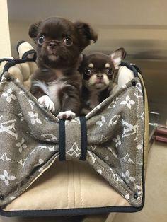Long Coat Chihuahua, Cute Chihuahua, Chihuahua Puppies, Super Cute Puppies, Cute Dogs, Cute Babies, Chiwawa, Little Critter, Yorkshire Terrier