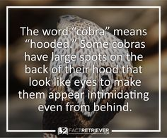 The king cobra is the longest species of venomous snake in the world.