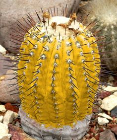 Copiapoa cinerea Gold