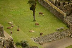 Lamas - Machu Picchu, Peru