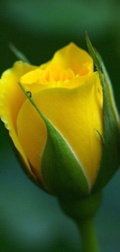 Beautiful Yellow Rose Bud w/very tiny inchworm