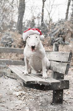 Christmas Animals, Christmas Dog, Christmas Stuff, Vintage Christmas, English Pitbull, Mans Best Friend, Friend 2, Miniature Bull Terrier, Bull Terrier Puppy