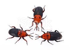 Red weevil insect on white background - foto de acervo royalty-free