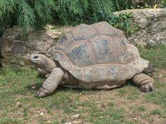 Aldabra Tortoise  Giant_Tortoise.JPG (2608×1952)