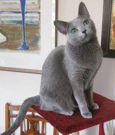 Meet Minnie the Russian Blue Cat