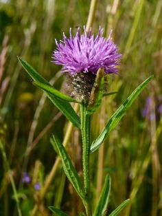 Knapweed in our wildflower meadow at Troutsdale Farm Holiday Cottages