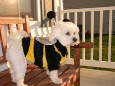 Snowball my bumble bee for trick or treat...awwww so cute!