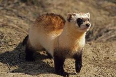Black-Footed Ferret - Mustela nigripes - Photo © Roberta   Olenick / Getty Images.http://stevemillerinsuranceagency.blogspot.com/2015/04/your-agent-4-lifelow-cost-term-lowterm.html