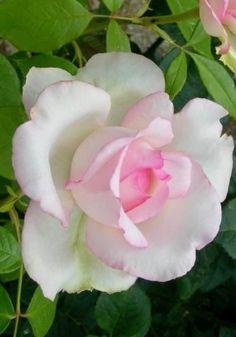 Very pretty rose