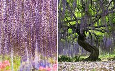 Glicinia Tree - Ashikaga Flower Park, em Tochigi, Japan