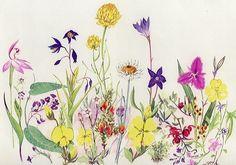 australian wildflower botanical drawing - Google Search