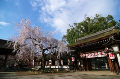 Hirano Shrine-Sakura-KYOTO,JAPAN