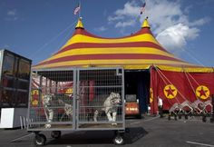 Circuses are hot beds of animal abuse. Don't support them.  White Bengal tigers are staged for the early show for the Cole Brothers Circus of the Stars during its stop in Myrtle Beach, South Carolina March 31, 2013.