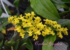 Orchid Oncidium cheirophorum (FS)