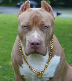 Uplifting So You Want A American Pit Bull Terrier Ideas. Fabulous So You Want A American Pit Bull Terrier Ideas. Pitbull Terrier, Amstaff Terrier, Terrier Dogs, Cute Dogs And Puppies, Big Dogs, Pit Bull Puppies, Agressive Dog, Aggressive Dog Breeds, Scary Dogs