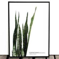 Botaniczny plakat SANSEVIERIA a4/a3/40x50/50x70cm