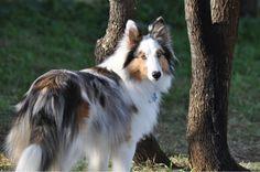 blue merle Sheltie...beautiful dog