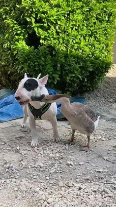 Cute Little Animals, Cute Funny Animals, Cute Cats, Cute Animal Videos, Funny Animal Pictures, British Bull Terrier, Kittens And Puppies, Animals Beautiful, Pet Birds