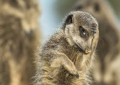This meerkat looks as though it just remembered it needed to be somewhere, Little Karoo, South Africa, in May 2015.