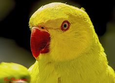 PAPPAGALLO GIALLO ------ YELLOW PARROT -------- # EXPLORED by Ezio Donati